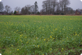 A higher rate of cover crop was sown in this field and it has provided even coverage, with the mustard coming into flower.