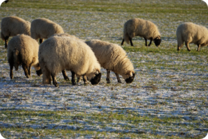 Sheep grazing at Muiredge field on winter sown cereals.