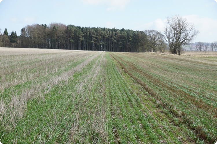 Farming For a Better Climate - Winter wheat sown into stripped wheat (left) and chopped straw (right)