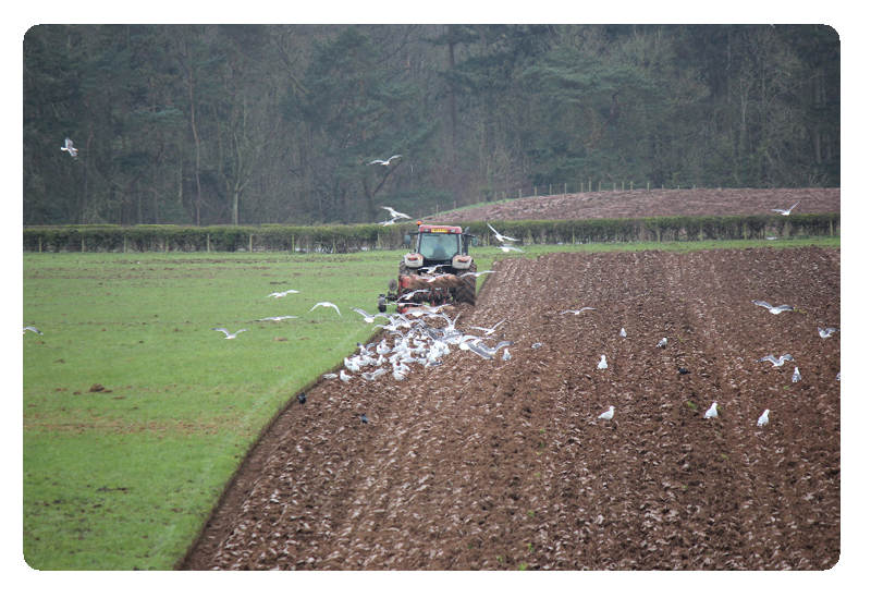 A tractor ploughing a grassland field with seagulls landing on the furrows behind the tractor.
